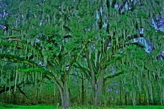 Florida Massive Live Oaks (Sonia'sGallery) Tags: tree photography photographer florida liveoak 100yearold floridatrees ocalafl bysonia massiveoaktree soniaargenio soniacollectibles soniacollectiblescom