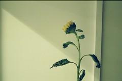 Are you the one one? (sofarsam) Tags: life flowers blue white green film beauty analog 35mm nikon streetlight kodak random grace exhibition minimalism queer meloncholy filmphotography