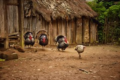 Turkeys, Madagascar (Rod Waddington) Tags: house birds turkey four village huts hut turkeys madagascar malagasy