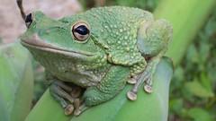 Frog on banana cluster. (Mayte Moya) Tags: nature animal wildlife amphibian frog toad sapo rana havanacuba anfibio greatnature bananacluster boyeroshavanacuba