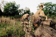 Acrobat (Zandgaby) Tags: wood dog brown beige outdoor canine acrobat trick