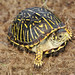 Ornate Box Turtle, Female