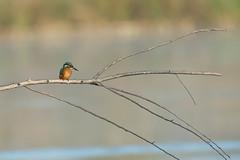 Premieres lueurs du martin (Jacques GUILLE) Tags: bird 09 oiseau ariège commonkingfisher alcedoatthis coraciiformes mazères martinpêcheurdeurope domainedesoiseaux alcédinidés
