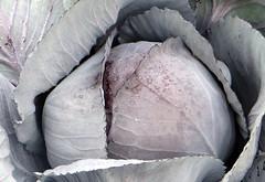 1-IMG_8947 (hemingwayfoto) Tags: food rot essen landwirtschaft natur pflanze feld bio bauer kche blau salat kraut gemse gastronomie ernte violett kohl kochen frisch vitamin vitamine morgentau vegetarisch roh lebensmittel rotkohl blaukraut gesund biologisch nutzpflanze ernhrung rotkraut herzhaft ackerbau znftig kappes delikatesse kohlkopf kchenbild gemseanbau feldfrucht blaukohl kunstnatur knipskiste brassicaolerocearubra