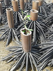 10.12.2015-AngloSingapore-BangPu-100 trees (8) (pattfoundation2014) Tags: thailand education mangrove treeplanting bangpu pattfoundation anglosingapore