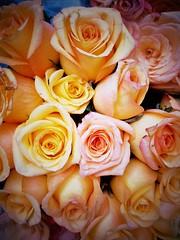Fotor_144434915647219 (maurizio siani) Tags: italy love rose italia rosa smartphone giallo cellulare napoli naples fiori fiore asus autunno petali settembre amore paglia telefonino ottobre filtro sentimento fiorellino fiorellini rosato giallino delicatezza sentimentale paglierino snapseed zenfone