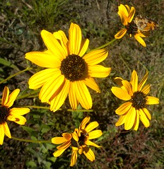 roadside sunflower (Just Back) Tags: hello life camera autumn brown flower fall nature gold see native vision disk seeing sunflower bloom species rays alive botany asteraceae aster taxonomy compositae phytology heniantheae