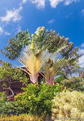 Travellers Palms DSC0308 (Zeta_Ori) Tags: hawaii islands pacific maui tropical napili travellerspalm napilibay napilikaibeachresort nikond90
