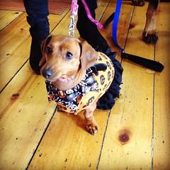 Hallo-weiner is approaching! #thefishandbone #dachshund #dogsofmaine #halloween #portlandme #portlandmaine