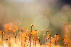 sporangium (tarurantala) Tags: autumn plant moss syksy sammal itiöpesäke sporangium tarurantala