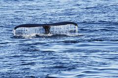 _DSC1144 (TC Yuen) Tags: glacier arctic greenland whales iceberg crusing floatingice polarregion greenlandeast