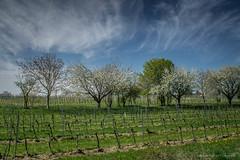 The Light of Spring in Vienna (medbiker1965) Tags: vienna himmel wolken 80 horizont frhling weinstock bisamberg  mcminoltarokkor1740