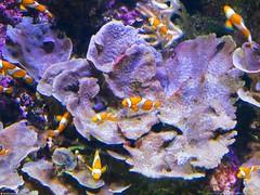 nemo bunch (Oneras) Tags: fish pez nemo clown payaso acuarium
