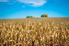 Lots of corn fields in Colorado.