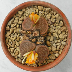 Lithops hookeri. [vermiculate form, C 023, South Africa, 55 km SW of Prieska] (2) (Succulents Love by Pasquale Ruocco (stabiae)) Tags: southafrica succulent lithops mesembryanthemum namibia mimicry stabiae mimetismo piantegrasse aizoaceae succulente mesembryanthemaceae cactusco mesembs fulviceps floweringstones sassifioriti pasqualeruocco forumcactusco suculentslove