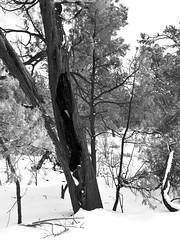 BND07.011 (andreagamba) Tags: arizona usa grandcanyon natura albero montagna statiuniti fulmine