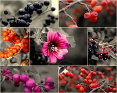 automnal (Natomevan) Tags: baies rouge fleur montage automne natomevan vincentrubin
