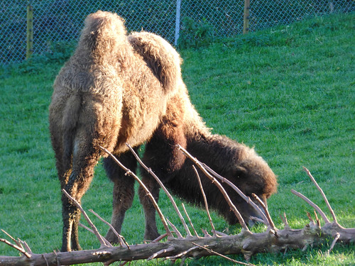 South Lakes Zoo - bactrian camel (2)