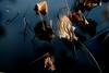 Lotus 荷 (MelindaChan ^..^) Tags: panyu china 番禺 guangdong guangzhou chanmelmel mel melinda melindachan lotus 荷 leaf withered dry stem plant doubleexposure 廣州