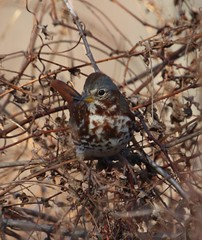 Red Fox Sparrow (Passerella i. iliaca) 01-01-2017 Chino Farm--10-acre Pond Property, Queen Anne's Co. MD 1 (Birder20714) Tags: birds maryland sparrows emberizidae passerella iliaca