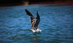 IMG_0156 Walking on water (Rodolfo Frino) Tags: bird gull seagull mardelplata argentina takeoff ocean sea water port bright agua walk