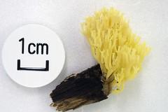 Artomyces sp. (hideyukimatsui) Tags: russulales auriscalpiaceae artomyces odawara fungi fungus mushroom mushrooms macro