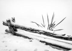 Unyielding (Astroredg) Tags: bw nb blackandwhite noiretblanc monochrome winter hiver fence barrière cloture plant plante highcontrast hautscontrastes minimalist minimaliste minimalistic snow neige extérieur exterior survivor unyielding resistant survivant rebelle intransigeant uncompromising
