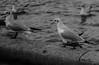 (C-47) Tags: animal animals blackwhite bw black birds funny fun