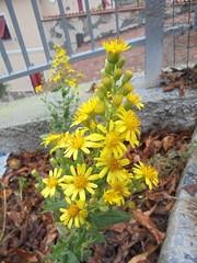 078 (en-ri) Tags: fiorellini little flowers sony sonysti giallo