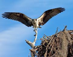 Osprey, pandion haliaetus carolinensis, Honeymoon Island State Park, Florida (klauslang99) Tags: nature naturalworld northamerica klauslang osprey pandion bird flight nest sky wings flying animal planet