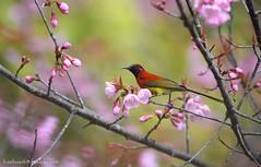 นกกินปลีหางยาวคอสีฟ้า / Mrs Gould's Sunbird / Aethopyga gouldiae (bambusabird) Tags: birds sunbird sweet pink flower doiinthanon chiangmai thailand