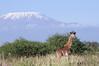IMGP8385b (Micano2008) Tags: kenia africa amboseli parquenacional pentax kilimanjaro monte mamifero giraffacamelopardalis jirafa