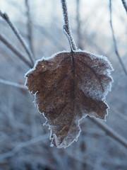 Manual Photos - Batch3-Jan1707 (greenby.nature) Tags: frozen frozenleaf rust rustedcars rustedengine moss frozenpuddles frostywalk sunthroughthetrees grass decayedsleepers