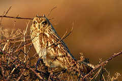 SHORT-EARED OWL (RedRobin_05) Tags: owls nature camouflage birds shorteared owl