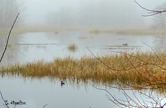 Foggy Morning (Suzanham) Tags: simplysuperb fog foggy bird waterscape lake water reeds grasses mist mississippi noxubeewildliferefuge marsh