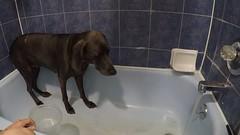 Nooooooo!!!! (VanaTulsi) Tags: vanatulsi weim weimaraner dog blueweim blueweimaraner