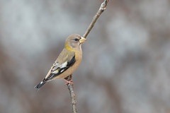 Evening Grosbeak female (Joe Branco) Tags: joebrancophotography nikond500 nikon canada parks ontarioparks nature photoshopcc2017 lightroomcc2015 birds branco wildlife joe eveninggrosbeak green