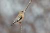 Evening Grosbeak female (Joe Branco) Tags: joebrancophotography nikond500 nikon canada parks ontarioparks nature photoshopcc2017 lightroomcc2015 birds branco wildlife joe eveninggrosbeak green