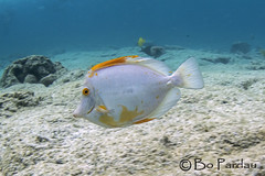 Albino Tang (bodiver) Tags: hawaii ambientlight wideangle kahaluu snorkeling blue tang fins fish
