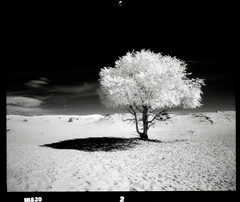 Deserted Lonesome (tsiklonaut) Tags: pentax 67 6x7 film analog analogue analogica analoog 120 roll medium format efke ir820 infrared infra ir infrapuna black white negro y blanco mustvalge elsen tasarhai monochrome desert sand dune tree lone lonesome alone isolated mongolia mongolian landscape maastik mongoolia gobi kõrb liivaväli bayan travel discover experience drum scan drumscan scanner photomultipliertube pmt dreamy glowing dreaming dramatic nature puu üksildane