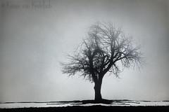 Relishing the Fog (KvonK) Tags: tree lone fog winter januaryblahs january 2017 kvonk lowlight lowkey