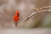 All Aglow (dbifulco) Tags: noca snowing birds male nature newjersey nikkor300f4pfed northerncardinal red snow wildlife winter