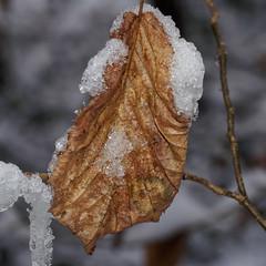 Frozen Leaf E1130237_07 (tony.rummery) Tags: closeup em10 guildford ice leaf mft macro microfourthirds omd olympus snow surreyhills winter albury england unitedkingdom gb