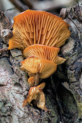 Up in the pollard willow (R. Engelsman) Tags: mushroom champignon seti pilze fungi fungo fungus paddenstoel paddestoel nature natuur sigma105mm 105mm canon 650d dof depthoffield outdoor carnissegrienden carnisse macro hongo nederland nl canonnl
