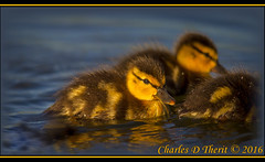 Mallard Chicks (ctofcsco) Tags: 1800 1div 50 560mm adorable baby brown canon chick colorado cute duck duckling ef400mm ef400mmf28liiusm ef400mmf28liiusm14x eos1dmarkiv birds city co denver explore explored geo:lat=3970432656 geo:lon=10508710738 geotagged lakewood nature northamerica park unitedstatesofamerica wildlife extender extender14x extender14xii extenderef14x extenderef14xii f5 mallard supertelephoto teleconverter unitedstates usa yellow animal outdoor