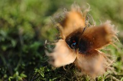 cocc (hhureaux) Tags: coccinelle noire rouge hetre