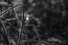 A Light Frosting (Shastajak) Tags: sedge grass frost bokeh sunshine earlymorningsunshine sparkle monochrome blackandwhite