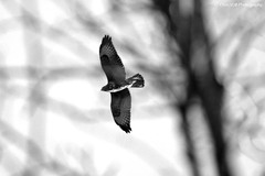 Buse B&W (Clém VDB (TIOGRIS)) Tags: buse bird oiseau noretblanc bw monochrome buzzard nature mood cantal tiogris