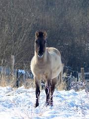 P1370515 - Cheval Tarpan - Balade raquettes tour du marais de Vaux  20 janvier 2017 (petite106) Tags: hiver cheval tarpan