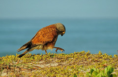 falco rupicolus (tdwrsa) Tags: falcorupicolus rockkestrel kransvalk agulhasnatgurereserve